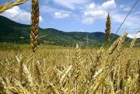 چنبره زدن مار قاچاق در اطراف خوشه های گندم آذربایجان غربی