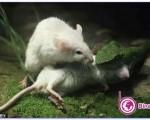 تلاش شجاعانه موش برای نجات همسرش/تصاویر دیدنی