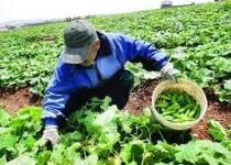 دست رنج کشاورزان آذربایجان غربی در جیب دلالها