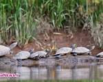 بوسه پروانهها بر اشک لاکپشتها+ تصاویر