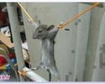 موش فضول شکنجه شد + عکس