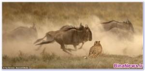 تصاويري هيجان انگيز از شکار يوزپلنگهاي گرسنه