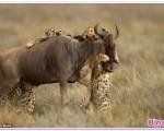 تصاویری هیجان انگیز از شکار یوزپلنگهای گرسنه