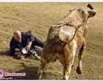 حمله گاو خشمگین به عکاس برنامه +تصاویر