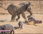 درگیری فیل و اسب آبی تا سر حد مرگ+تصاویر
