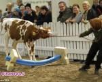 جالب ترین مسابقات پرش گاوها+تصاویر