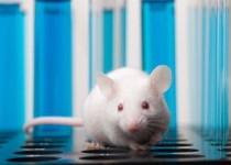 موفقیت دانشمندان در جوان کردن موشهای پیر مبتلا به اماس