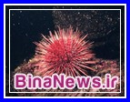 توتیای دریایی بلای جان مرجان های خلیج فارس
