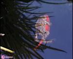 سواری گرفتن قورباغه از یک ماهی قرمز/تصاویر