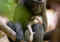 """اندوه """"مامان میمون"""" بر سر جنازه فرزندش!/تصاویر"""