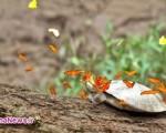 پروانه هایی که اشک لاک پشت می نوشند /عکس