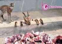 شکارچی «بی رحم» آزاد شد/عکس