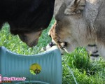 دوستی عجیب سه حیوان وحشی + تصاویر