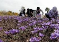 صادرات فلهای زعفران آزاد شد
