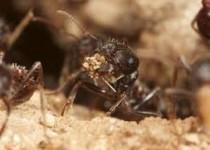 آیا مورچهها زمین را نجات میدهند؟