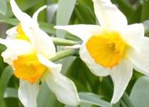 گل نرگس بهبهان ثبت ملی شد
