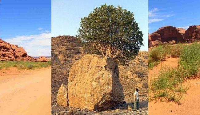 عجیب ترین درخت ایران + عکس