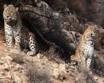 جفتگیری ۲ پلنگ ایرانی در پارک ملی/عکس