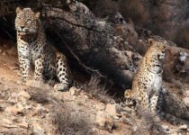 جفتگیری 2 پلنگ ایرانی در پارک ملی/عکس