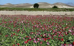 کشت پنهانی خشخاش برای تولید تریاک «خانی» در استان فارس!